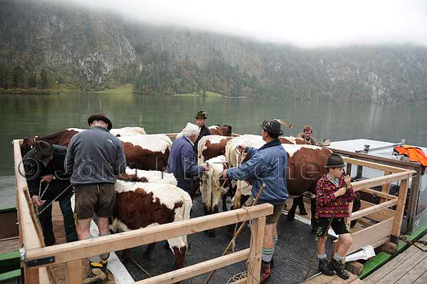 The cows are brought on so-called landowners over the Königssee.