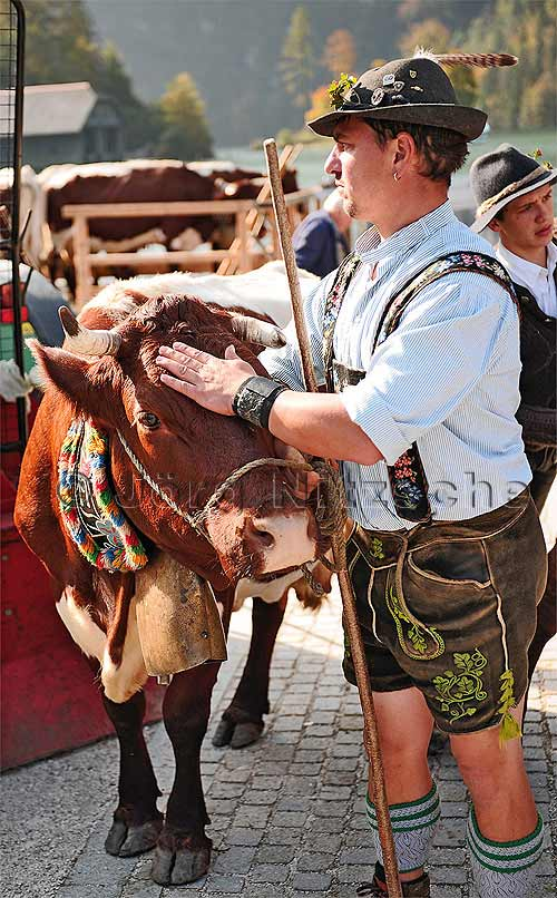 The Berchtesgaden farmers treat their cows with respect.