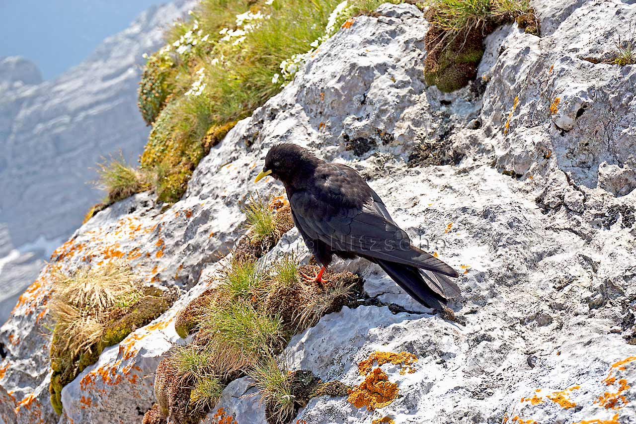 The Alpine Chough is always a pleasant companion up here in the alpine world. But it is found mainly where the hiker takes a break. Since then falls from something most of the snack brought.